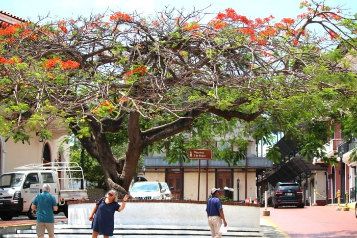 flowering tree in panama city