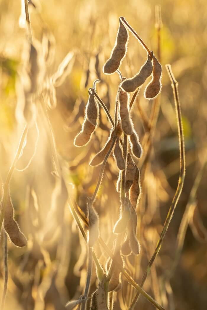 SOYBEANS IN THE FIELD